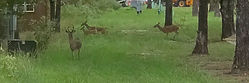 Lovely RV Resort Central Park Deer.jpg