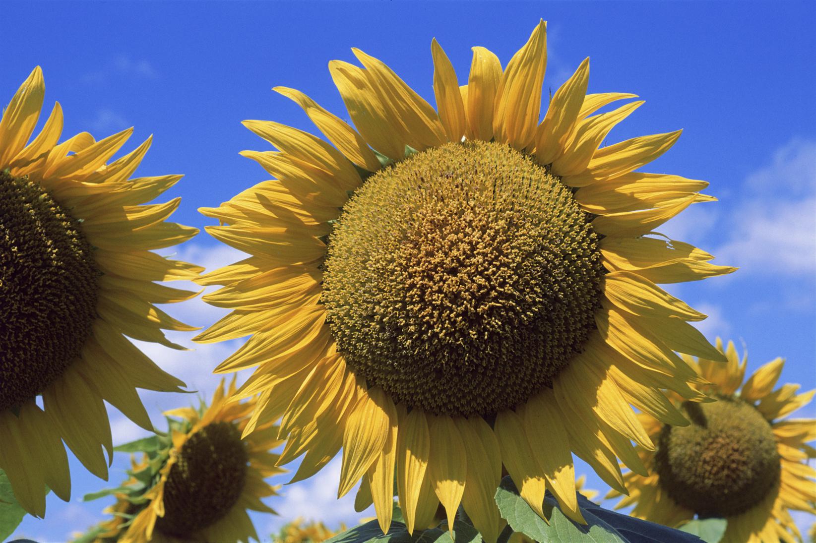 A Kansas Flower