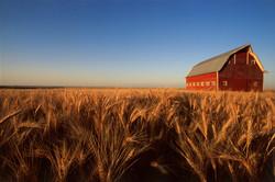 Red Barn, Golden Wheat