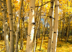 A Golden Grove