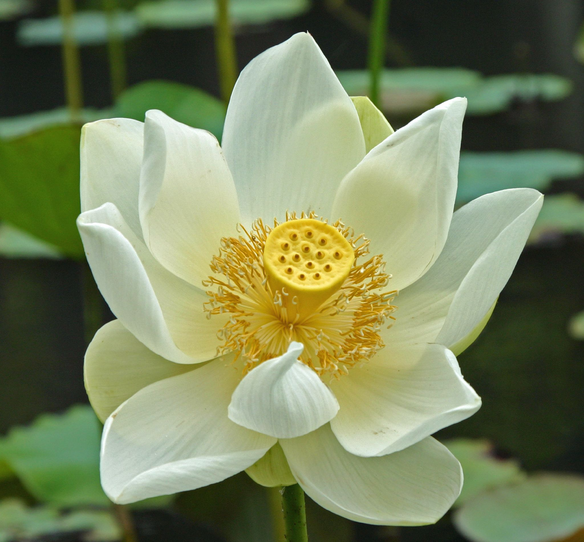 White_lotus,_Mauritius.jpg