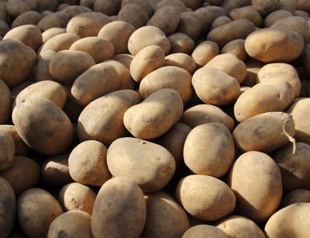 Kartoffeln soweit das Auge reicht