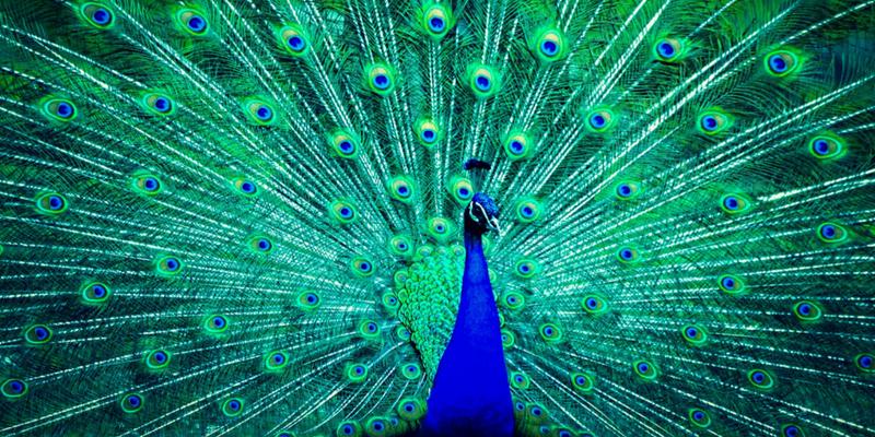 Peacock pose photo