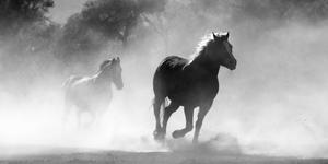 Galloping horses B&W