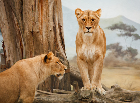 A Tale of Two Lions