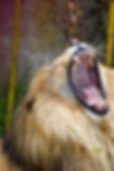 lion_GJOktIFO.jpg
