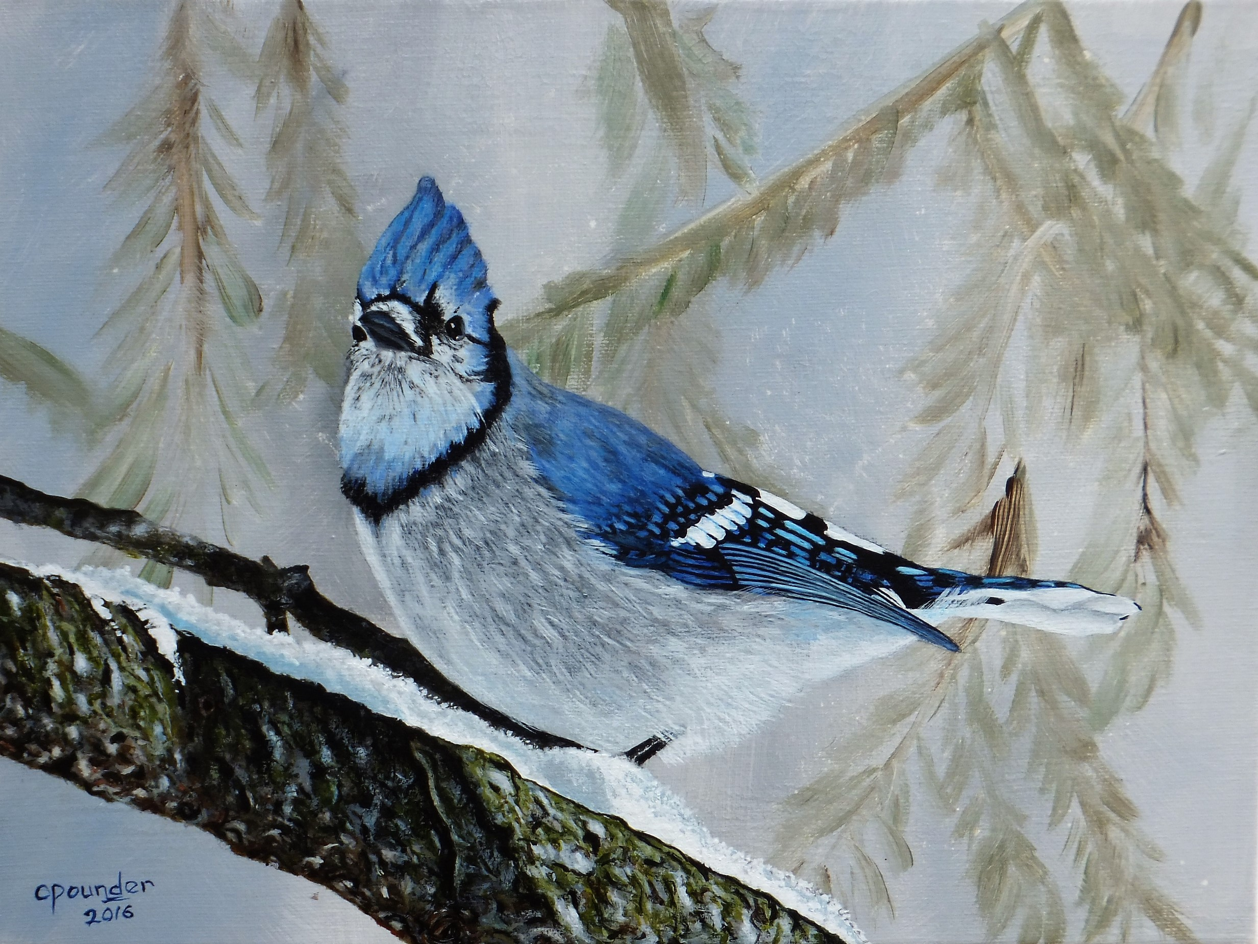 Winter Bluejay