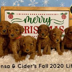 Sansa & Cider's Fall 2020 Mini Goldendoodle Litter