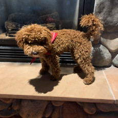 Penny & Tigger's Fall 2020 Petite Goldendoodle Litter