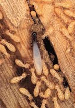 Tom Harp finding Termites