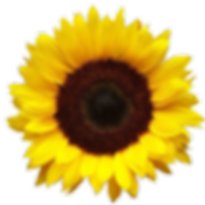 Sunflower Web.Png