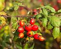 Heimische Wildfrüchte und Wildbeeren, (BASIS-MODUL)