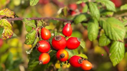 Heimische Wildfrüchte und Wildbeeren (BASIS-MODUL) (WARTELISTE)