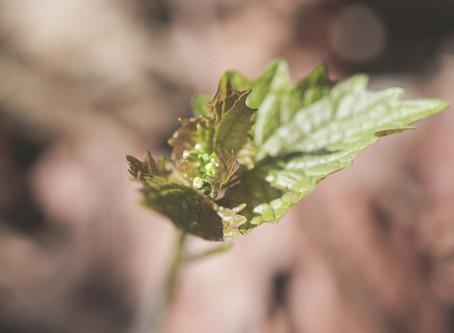 Wildpflanzenspaziergänge und Senfölglykoside zur Stärkung des Immunsystems