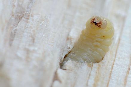 Houtworm bestrijden.jpg