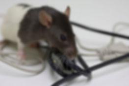 Ratten bestrijden.jpg