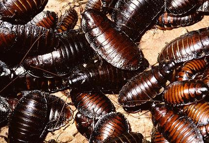 kakkerlakken.jpg