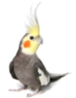cockatiel2.jpg