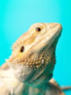 6664-bearded-dragon-on-turquoise-backgro