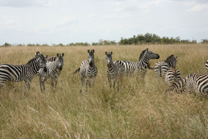 Zebras in the Mara