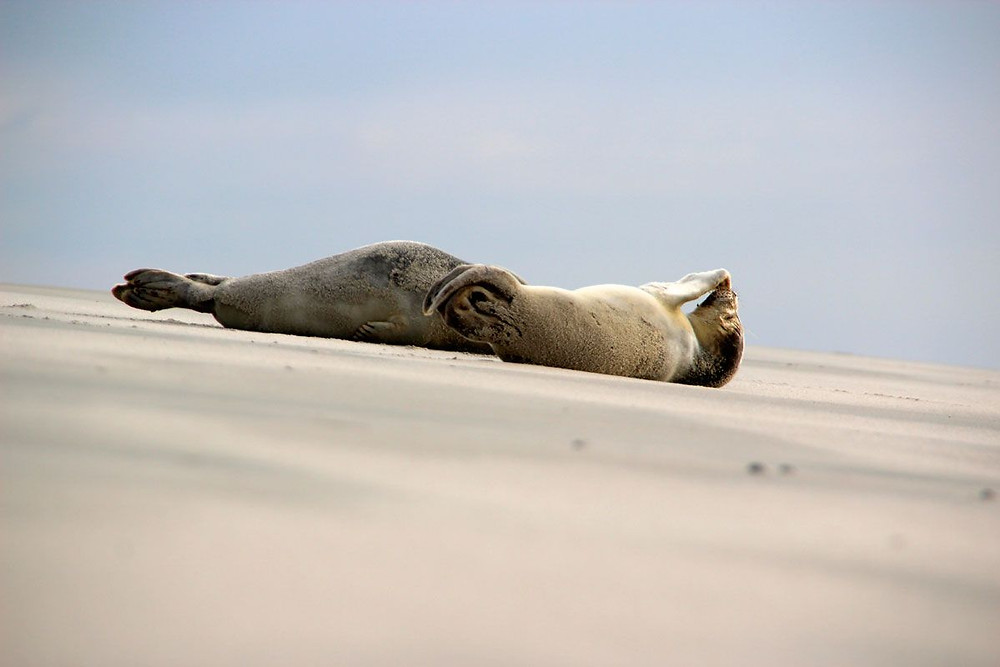 Robben auf Wangerooge ©ostfriesische Inseln