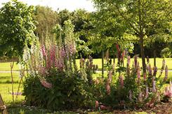 Gardens2-delphiniums.jpg