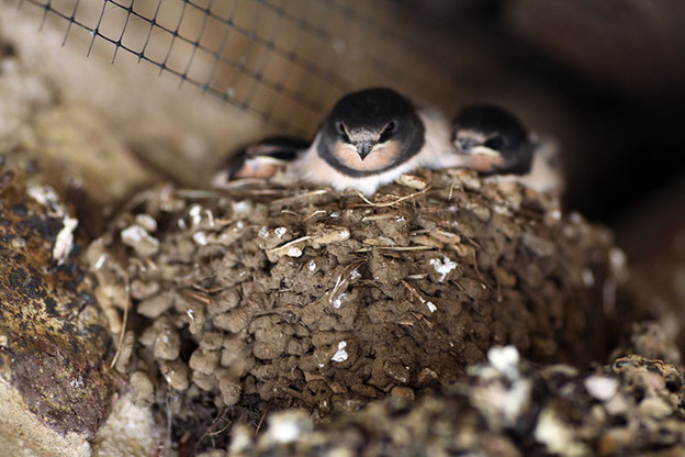 Gardens2-baby-swallows.jpg