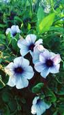 Gardens2-petunias.jpg