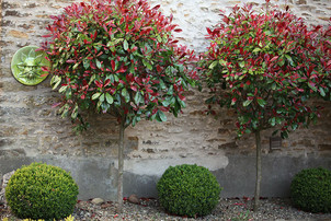 Gardens2-photinia-courtyard.jpg