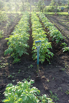 Gardens2-potatoes-growing.jpg