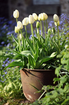 Gardens2-white-tulips-in-old-pot.jpg