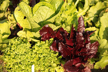 Gardens2-garden-salad.jpg