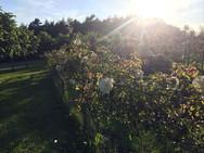 Gardens2-rose-fence.jpg