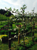 Gardens2-espalier-apples.jpg