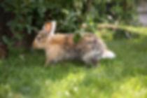 Löwenkopf Kaninchen
