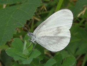 Saving the Wood White Butterfly                  March 2nd at 7pm