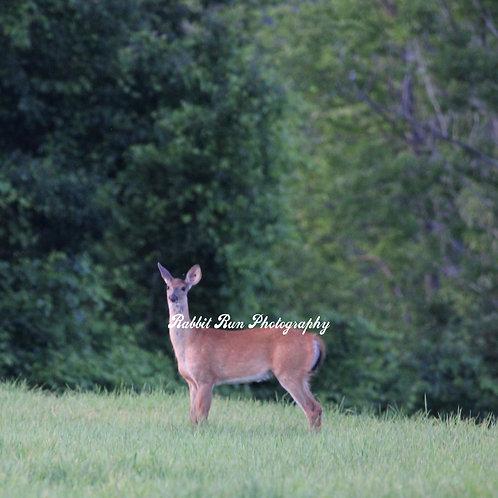 Barnet Deer