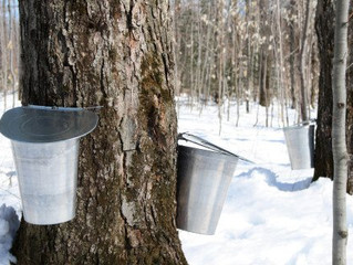 Magical Maine Maple Syrup
