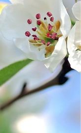 apple-blossoms-1368187_1920_edited_edite