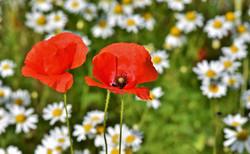 poppy-4060534_1920