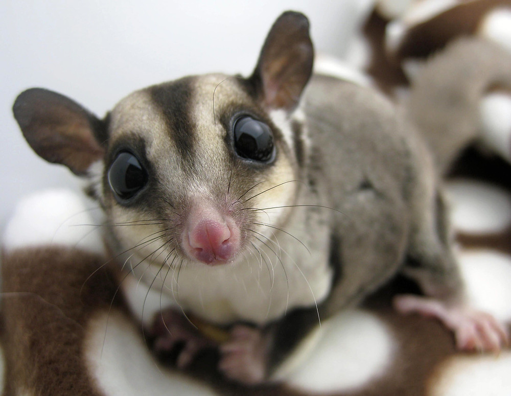 pet sugar glider | long island bird and exotic vet | LIBEVC