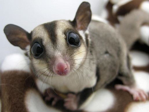 Thinking About a Pet Sugar Glider? 5 Things to Consider Before You Commit