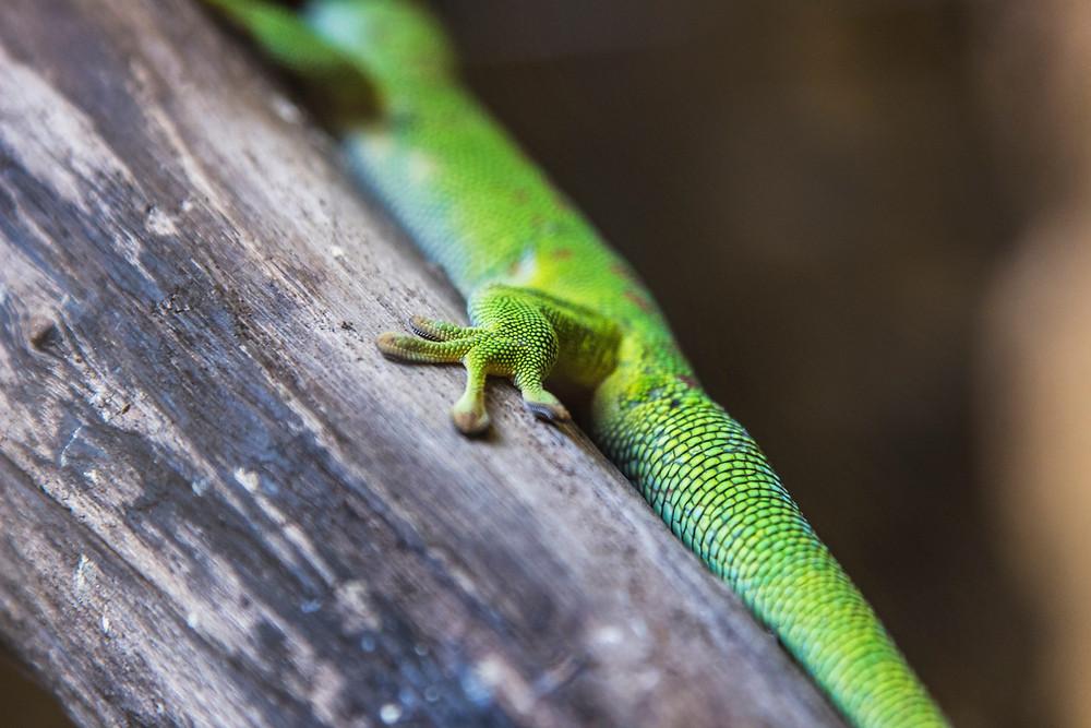 pet lizard | reptile vet | LIBEVC