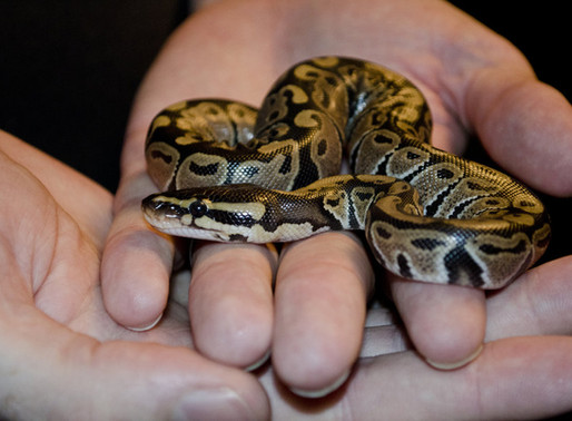 Keeping Your Pet Reptile in the Right Way