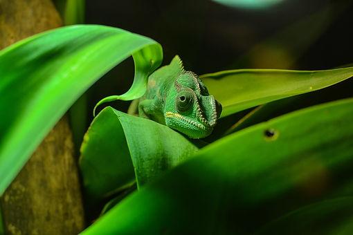 is a chameleon an amphibian