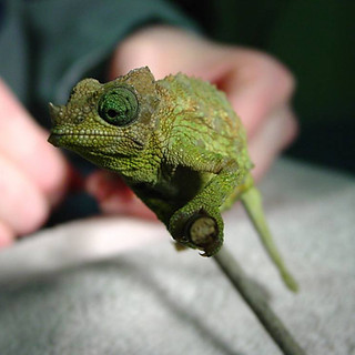 chameleon at emerency services in new york exotic vet