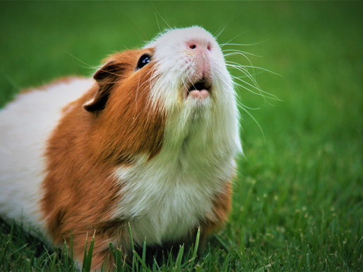 What Your Guinea Pig Would Tell You If She Could Talk