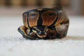 Most Common Health Concerns - Ball Python