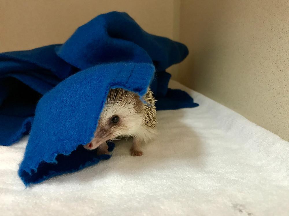 pet hedgehog | hedgehog vet care | LIBEVC
