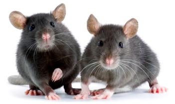 pet mice | Avian and Exotic Pet Vet
